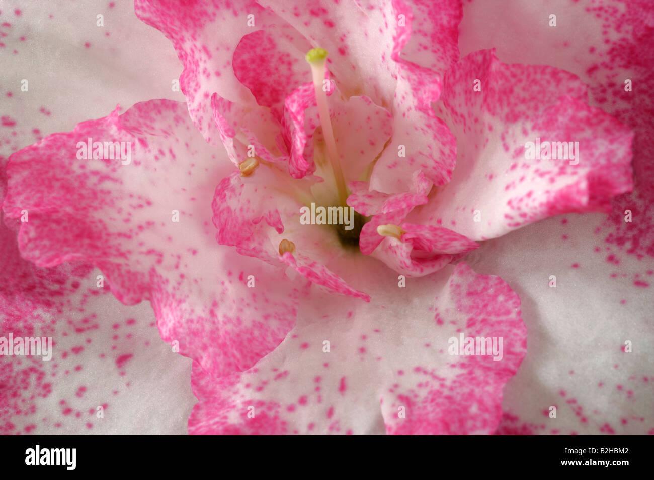 Azaleas flowering shrub afterimage backcloth background image backdrop close up pattern still patterns stills - Stock Image