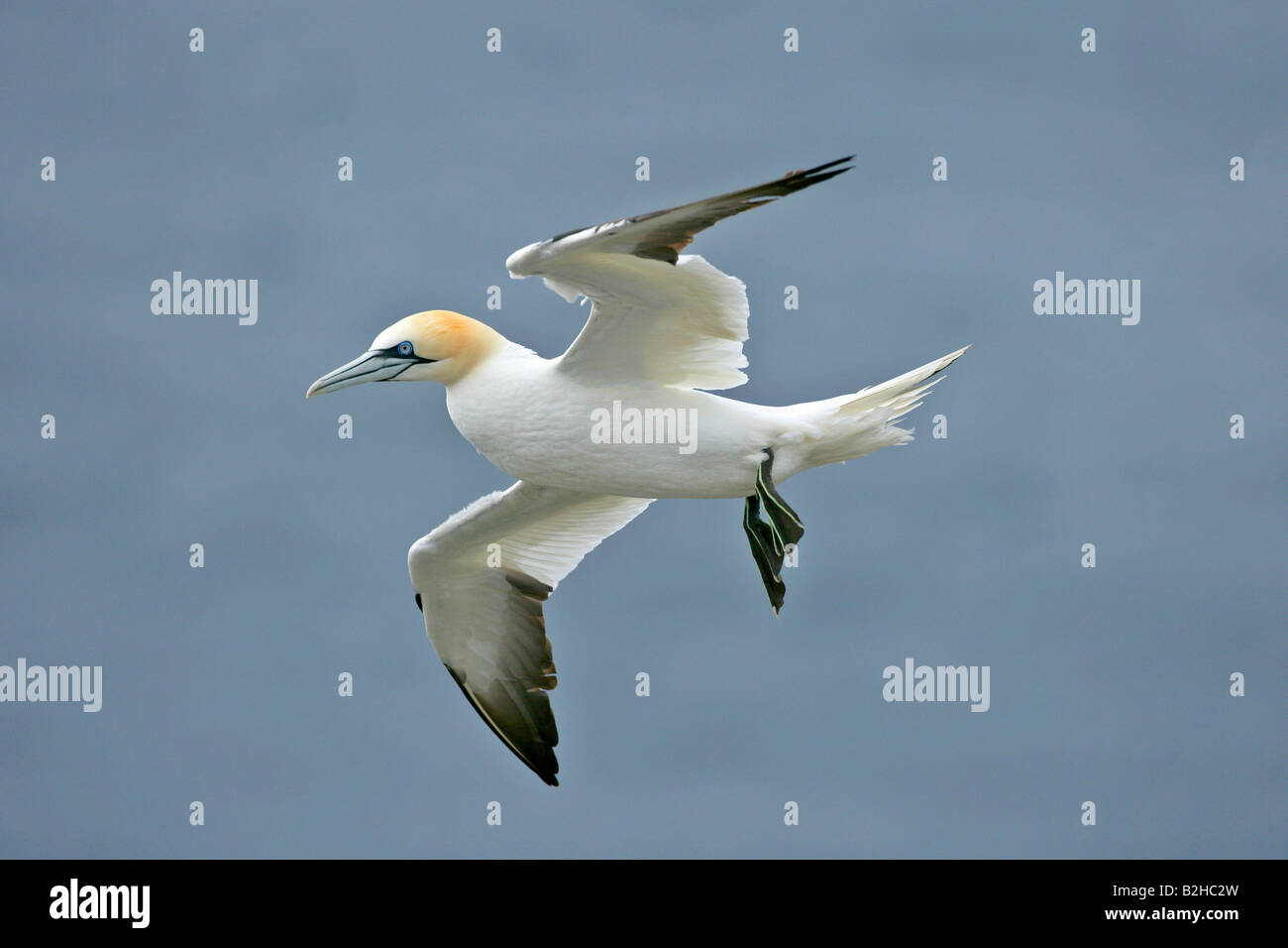 Gannet Sula Bassana in flight departing from breeding colony nestled in steep cliffs Hermaness Nature Reserve Unst - Stock Image