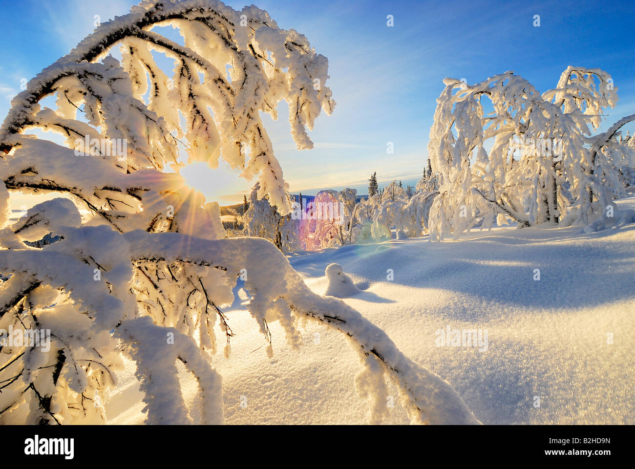 birches wintry landscape scenery snow covered stubba nature reservatoin Laponia lapland norrbotten sweden scandinavia - Stock Image
