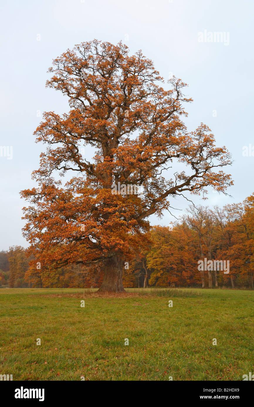 oak tree deciduous trees autumn foliage leaves fall autumn color Baden Wuerttemberg Germany - Stock Image