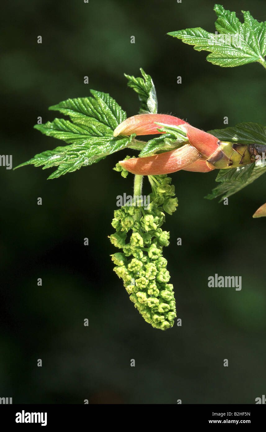 Maple acer tree hanging inflorescence blossom spring forest deciduous trees Germany europe Stock Photo