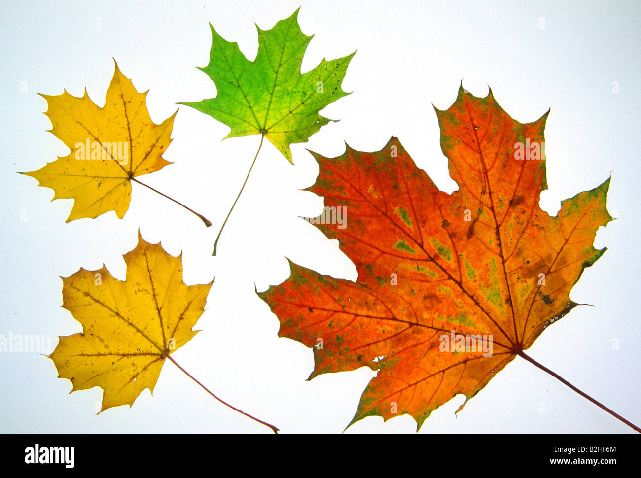 maple tree leave acer afterimage backcloth background image backdrop close up pattern patterns Stock Photo