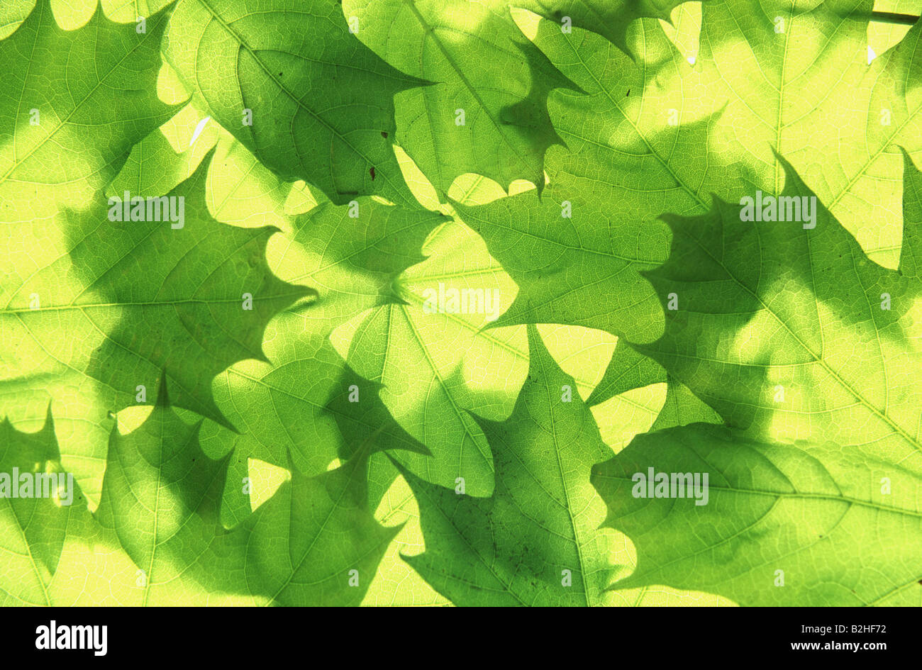 maple tree acer afterimage backcloth background image backdrop close up pattern patterns Stock Photo