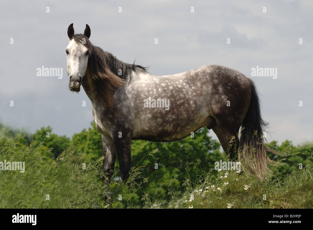Andalusian Purebred Spanish Horse Pre breed horse Stock Photo