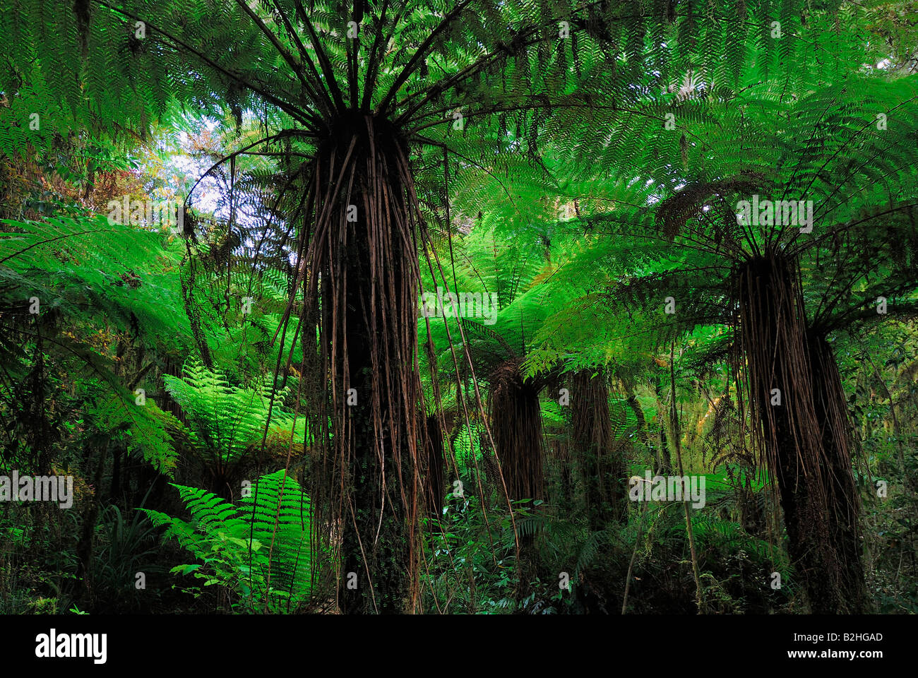 tree ferns Cyatheales Oparara Basin Kahurangi NP National Park New Zealand  still stills background backgrounds - Stock Image