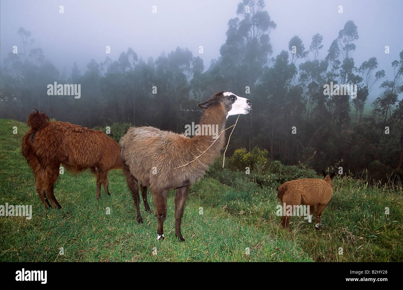 Lama Lama glama Ecuador South America highland mountain landscape Stock Photo