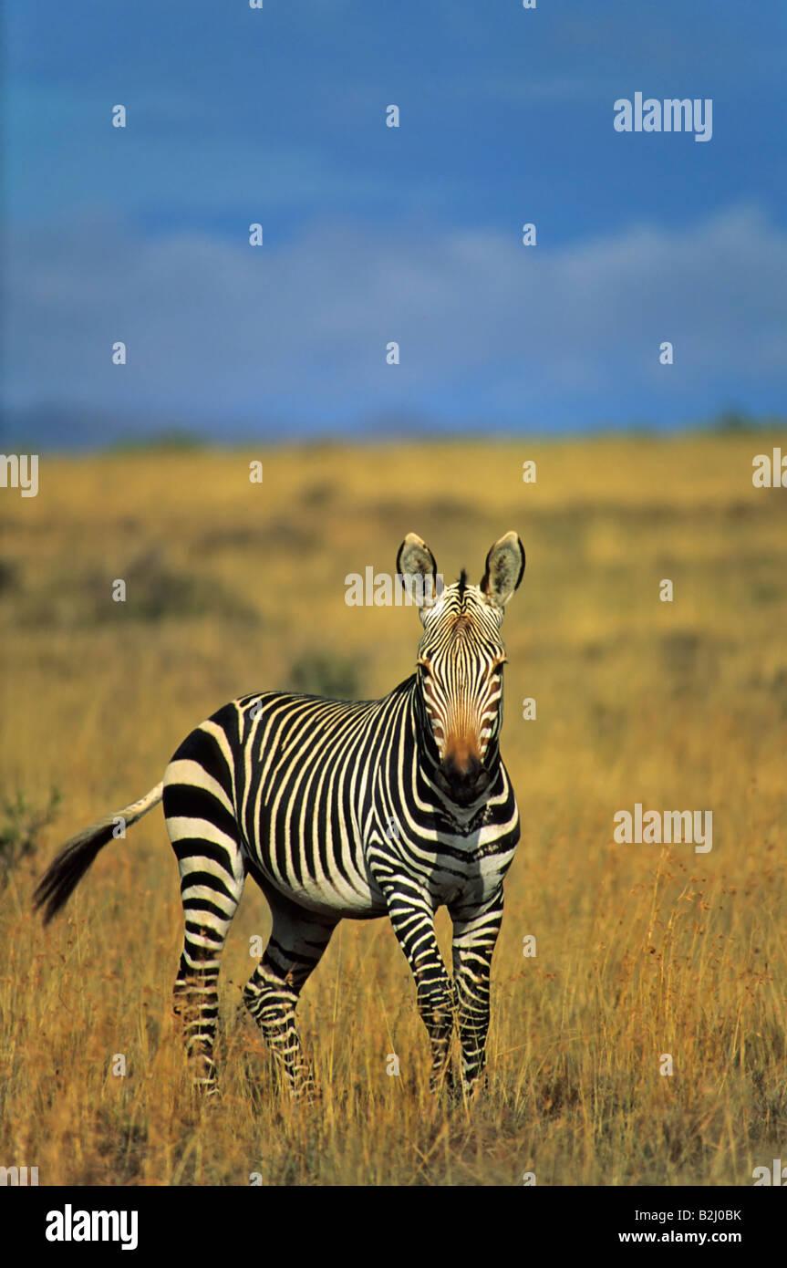 Zebra South Africa Suedafrika Cape Mountain Zebra - Stock Image