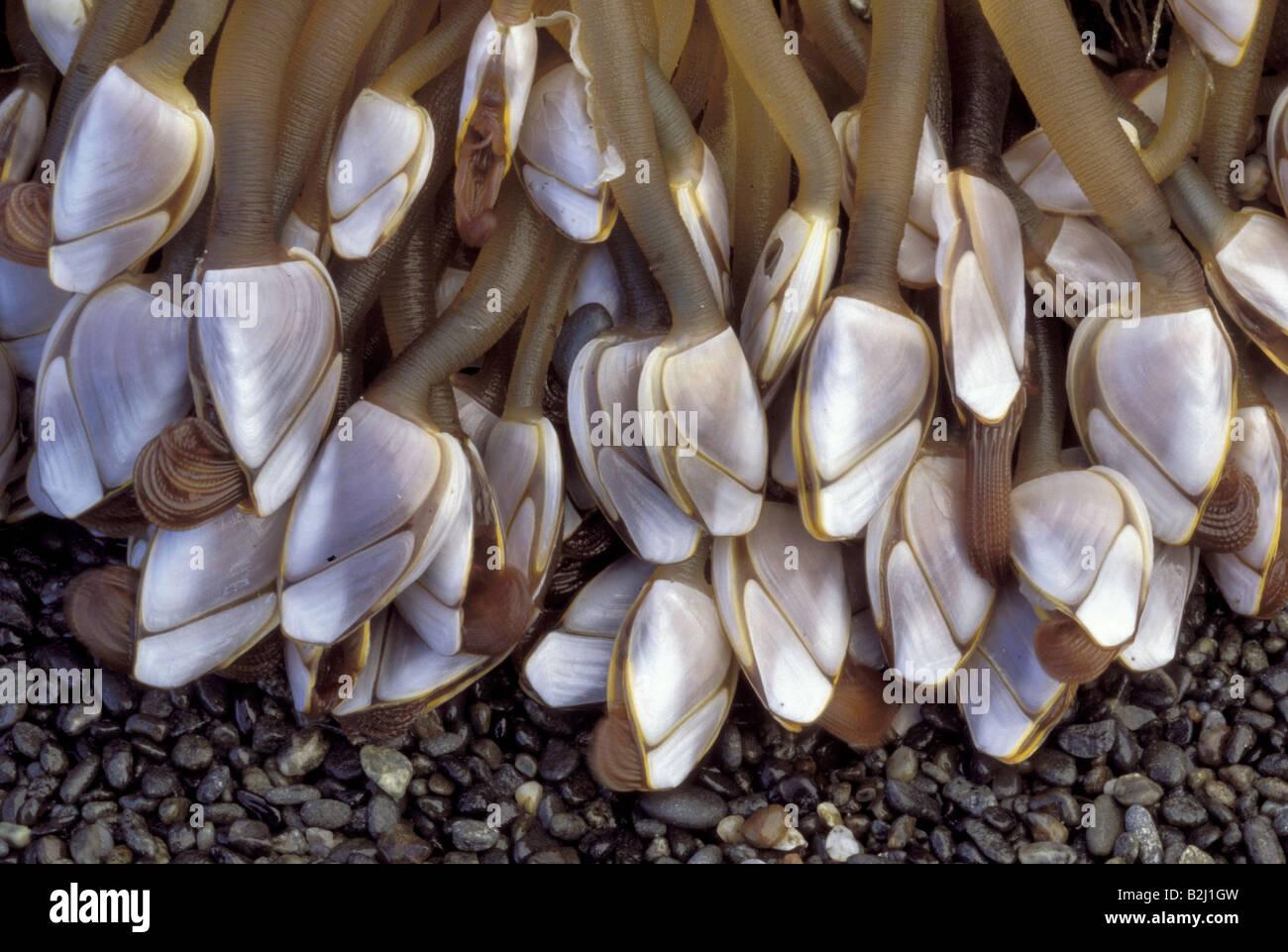 zoology / animals, shellfish / crustacean, Pelagic goosneck barnacle, (Lepas anatifera), distribution: worldwide, Lepadidae, bar Stock Photo