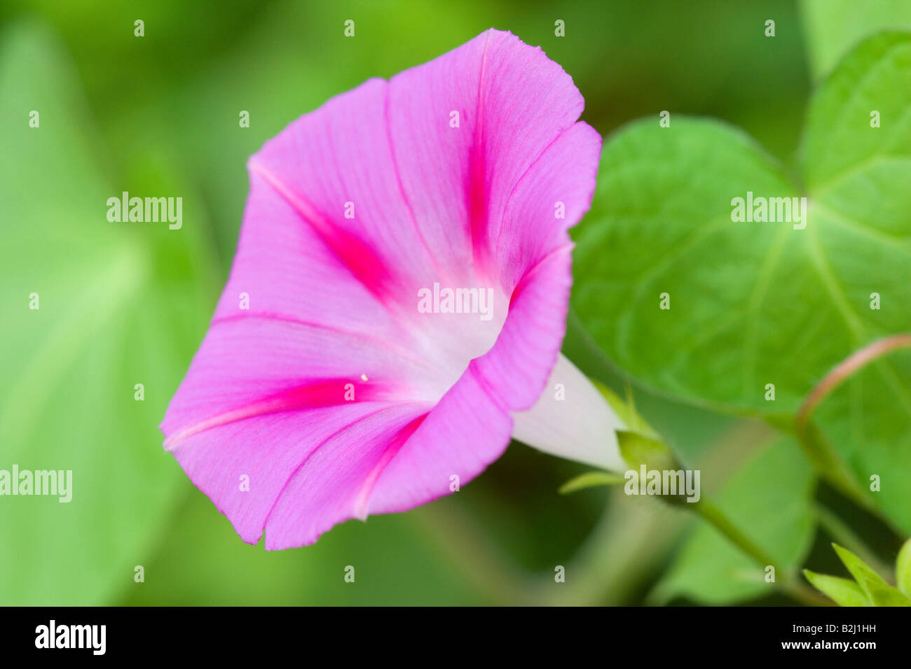 bindweed Convolvulaceae morning glory family bloom blooming - Stock Image