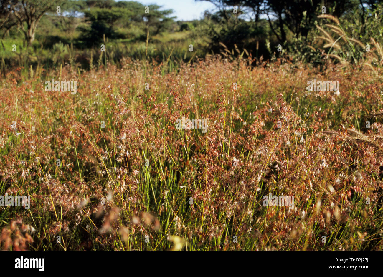 A collection of grasses in typical African bushveld - Stock Image
