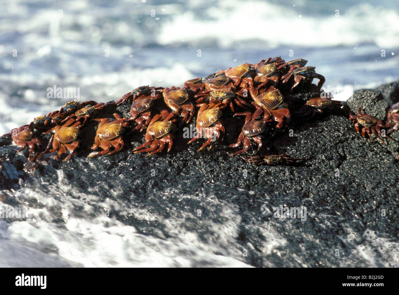 zoology / animals, shellfish / crustacean, rock crabs, Red Rock Crab, (Grapsus grapsus), sitting on rock, Galapagos - Stock Image