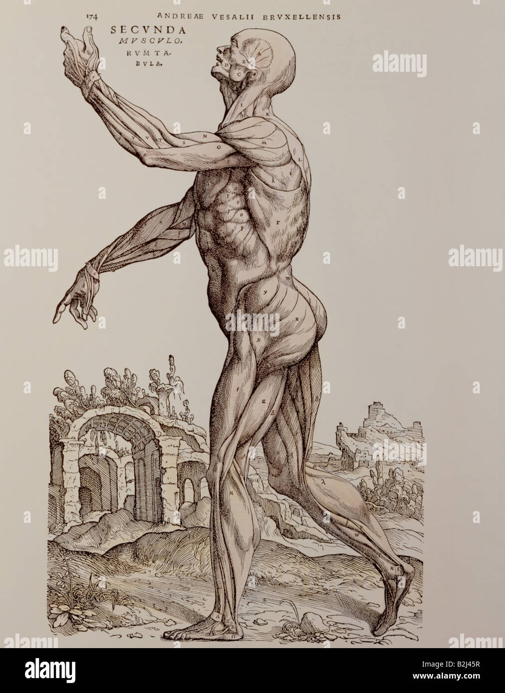medicine, anatomy, muscles, woodcut, \