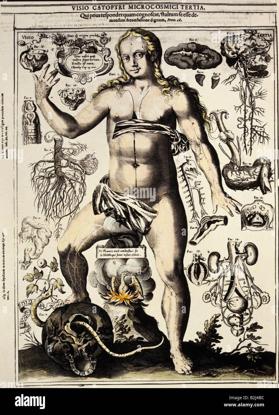 medicine, anatomy, female body, copper engraving by J. Remmelin ...