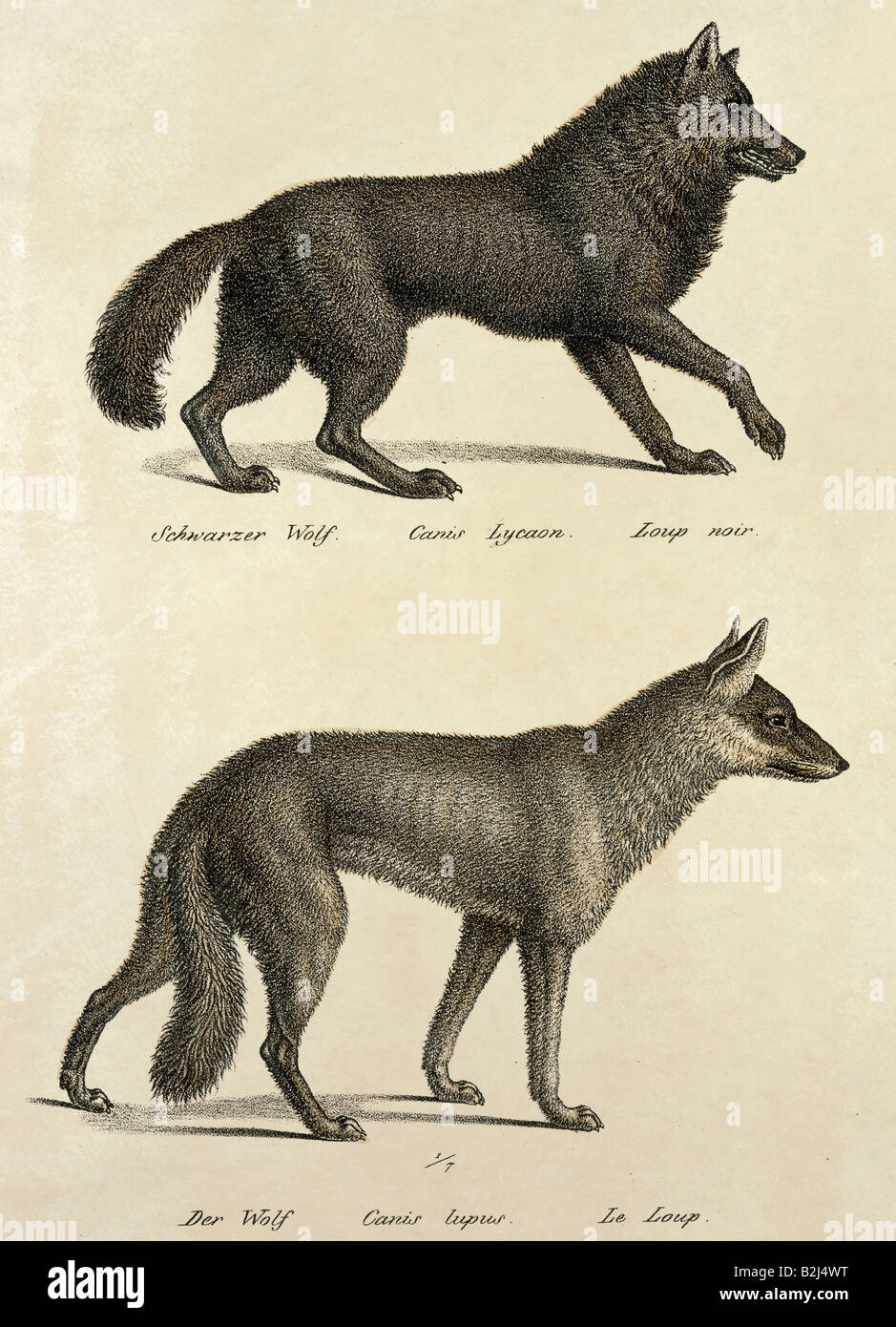 zoology / animal, mammal / mammalian, wolfs, above: Eastern Wolf (Canis lupus lycaon), below: Eurasian Wolf (Canis - Stock Image