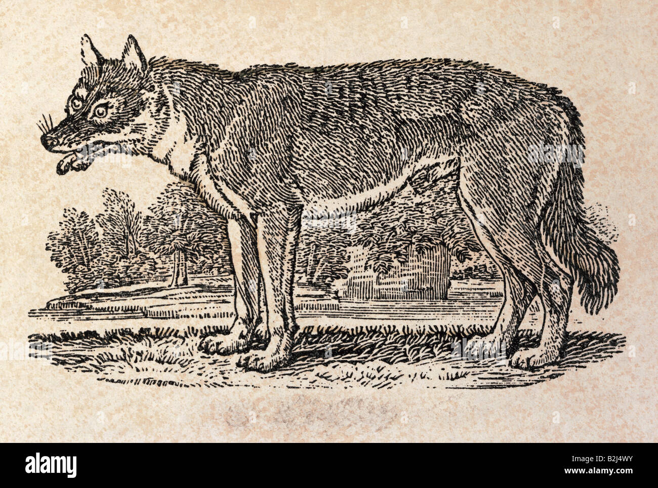 zoology / animal, mammal / mammalian, wolfs, Grey Wolf (Canis lupus), graphic, 'The New South Wales Wolf', - Stock Image
