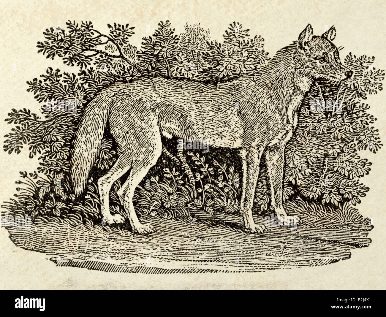 zoology / animal, mammal / mammalian, wolfs, Grey Wolf (Canis lupus), graphic, 'The Wolf', wood engraving, - Stock Image