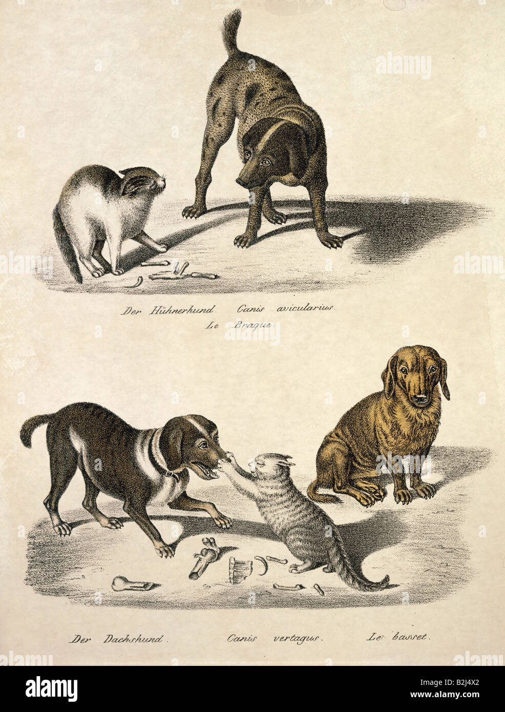 zoology / animal, mammal / mammalian, dogs, above: pointer (Canis avicularius), below: dachshund (Canis vertagus), - Stock Image