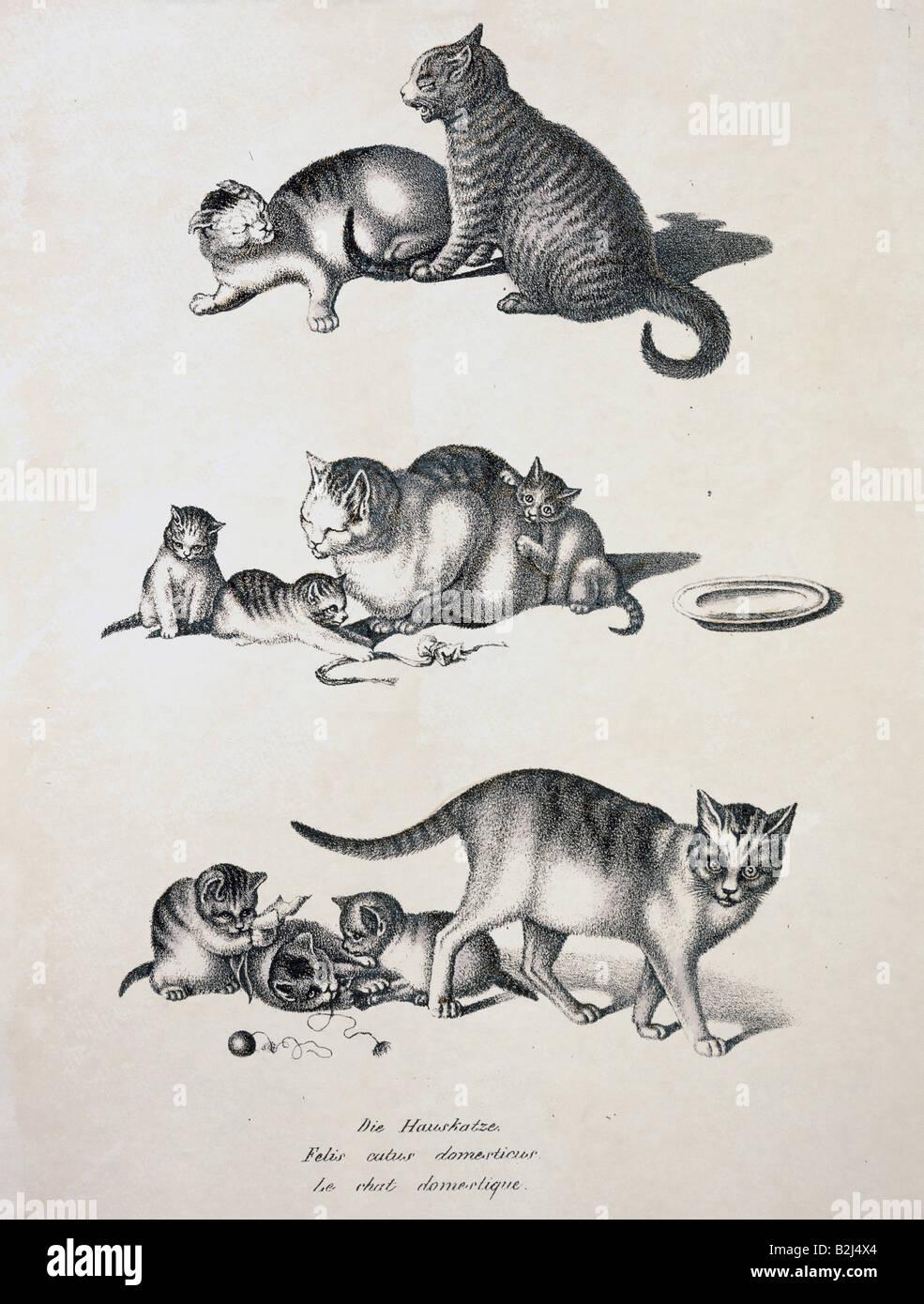 zoology / animal, mammal / mammalian, cats, domestic cat (Felis catus domesticus), chalk lithograph, coloured, by - Stock Image