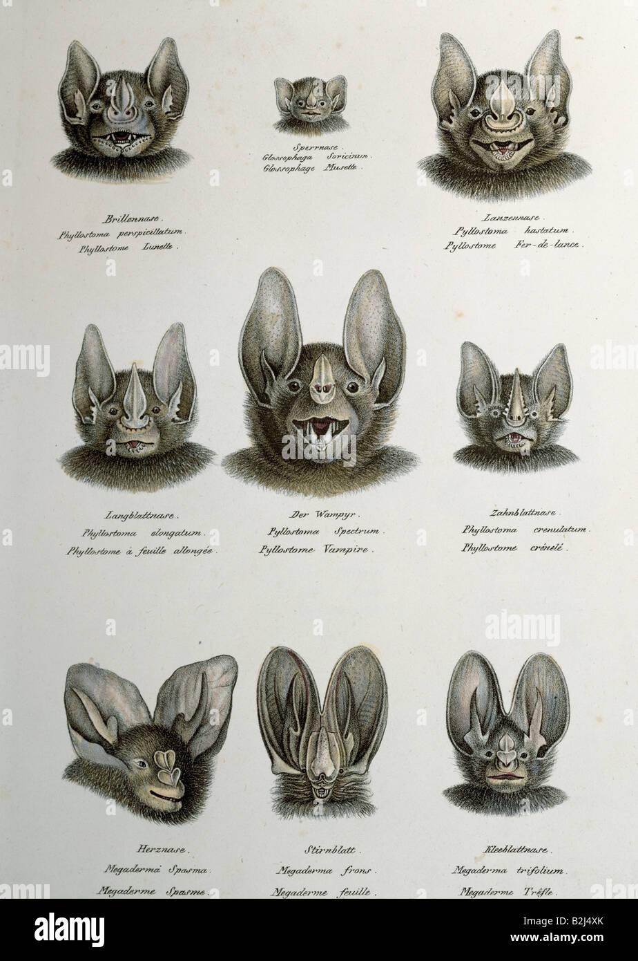 zoology / animal, mammal / mammalian, bats (Chiroptera), Microchiroptera, leaf-nosed bats (Phyllostomidae), different - Stock Image