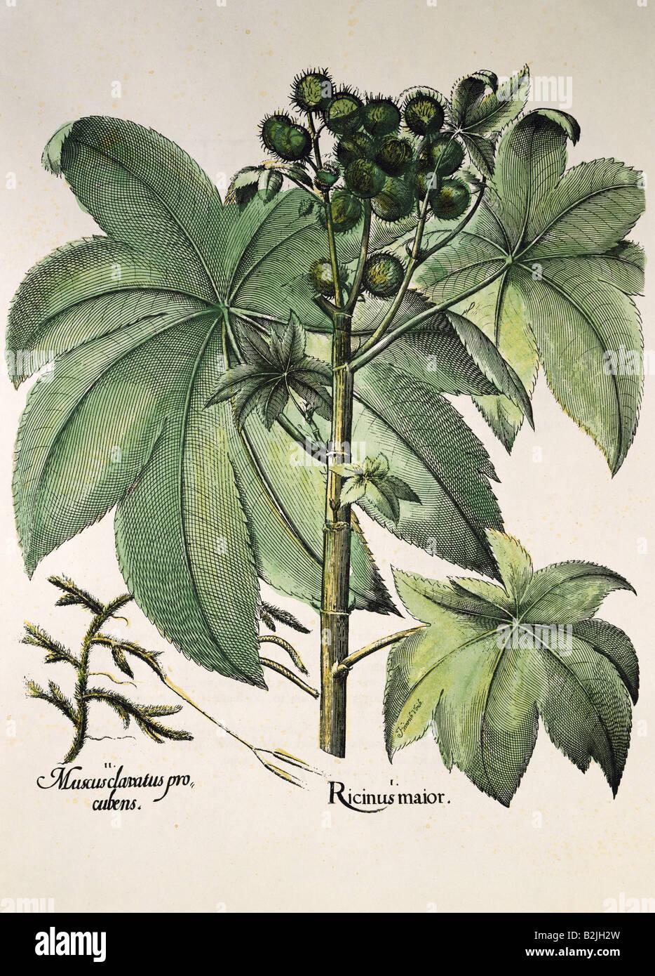 botany, medicinal plants, Ricinus, castor oil plant (Ricinus communis), copper engraving, coloured, from 'Hortus - Stock Image