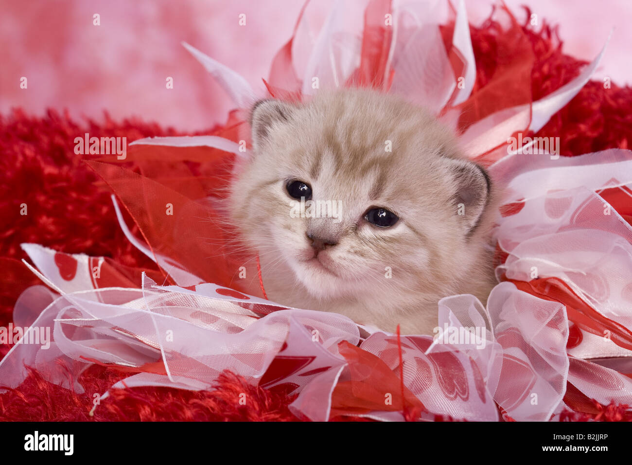 Adorable Valentines Day Kitten On Red Background Stock Photo