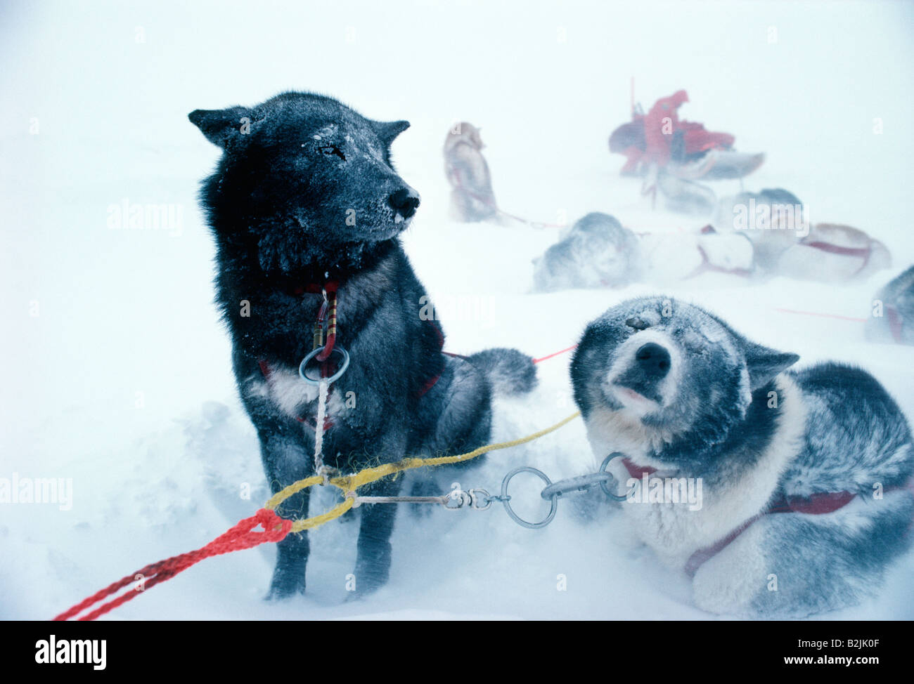 Canadian Eskimo dogs used to pull sleds in a fierce winter blizzard - Stock Image