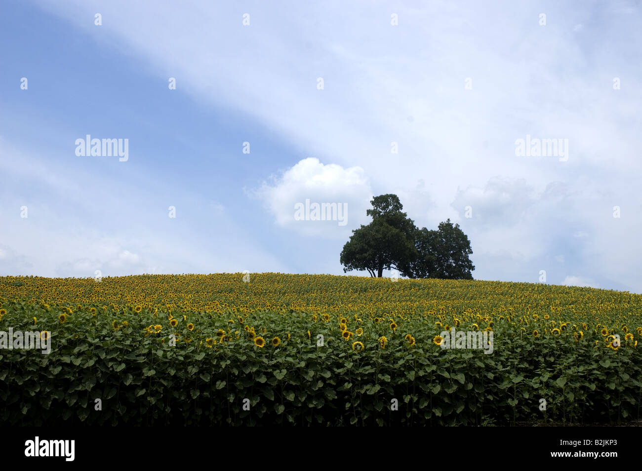 A lone tree in a field of sunflowers against a blue sky. - Stock Image
