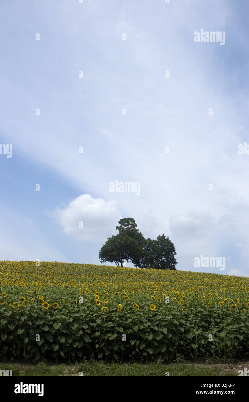 A tree sits by itself in a field of sunflowers.  A summer scene - Stock Image
