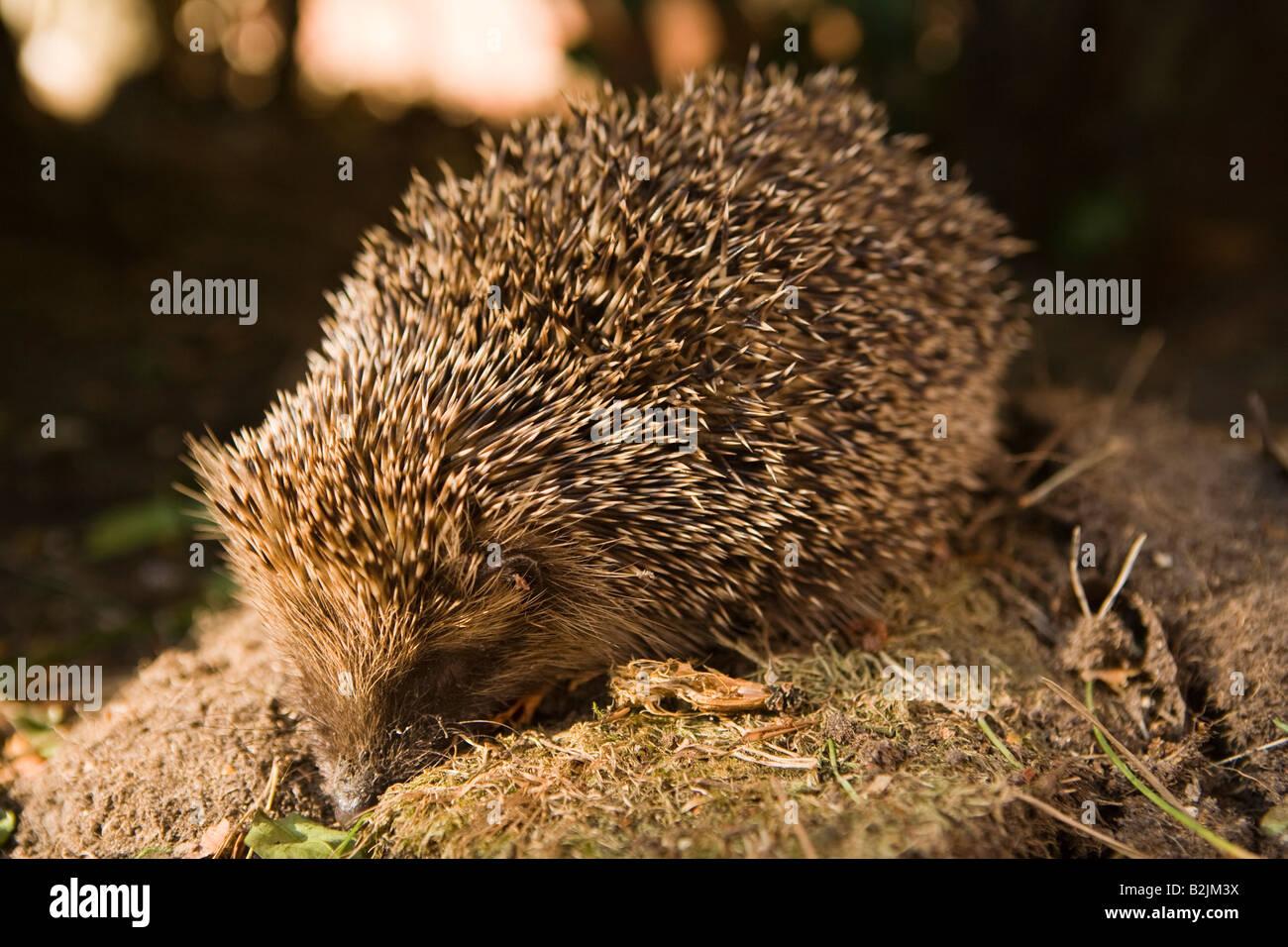 UK wildlife England hedgehog in domestic garden Stock Photo