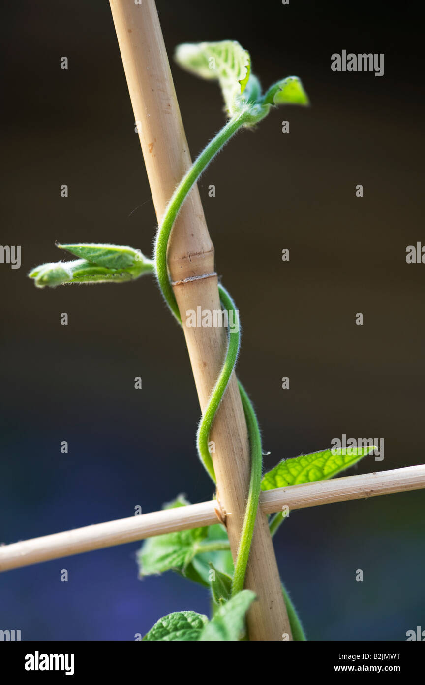 Phaseolus coccineus. Young Runner bean plant climbing up bamboo ...