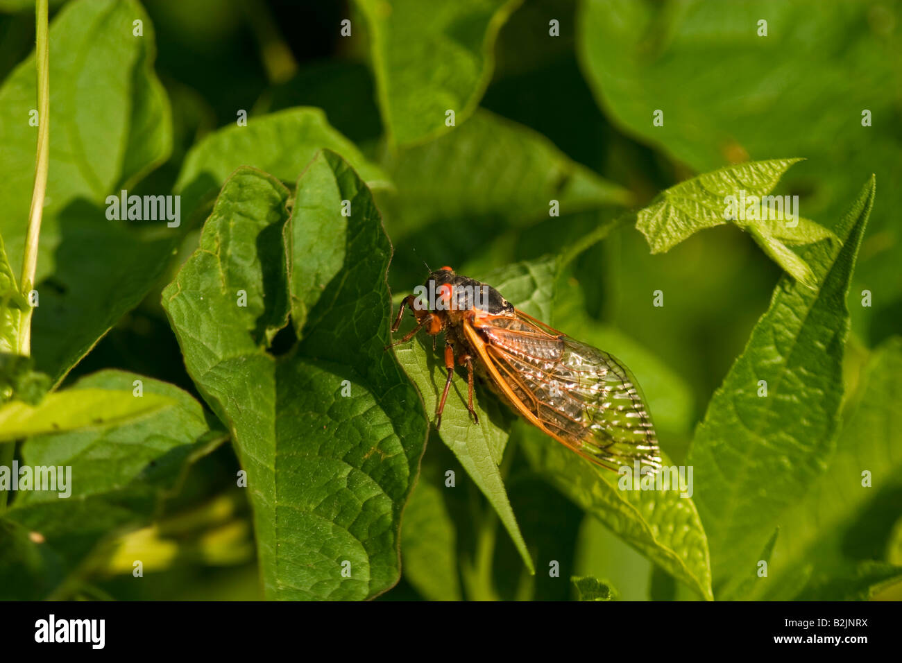 17 year periodical cicada (Magicicada spp) on green leaves - Stock Image