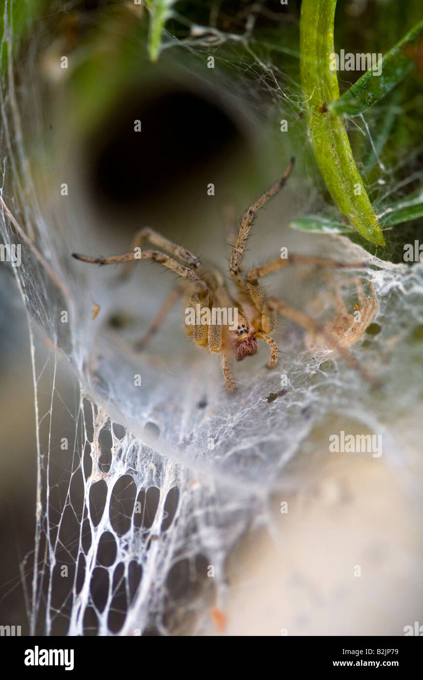 Funnel Web Spider on web Riverside county California USA - Stock Image