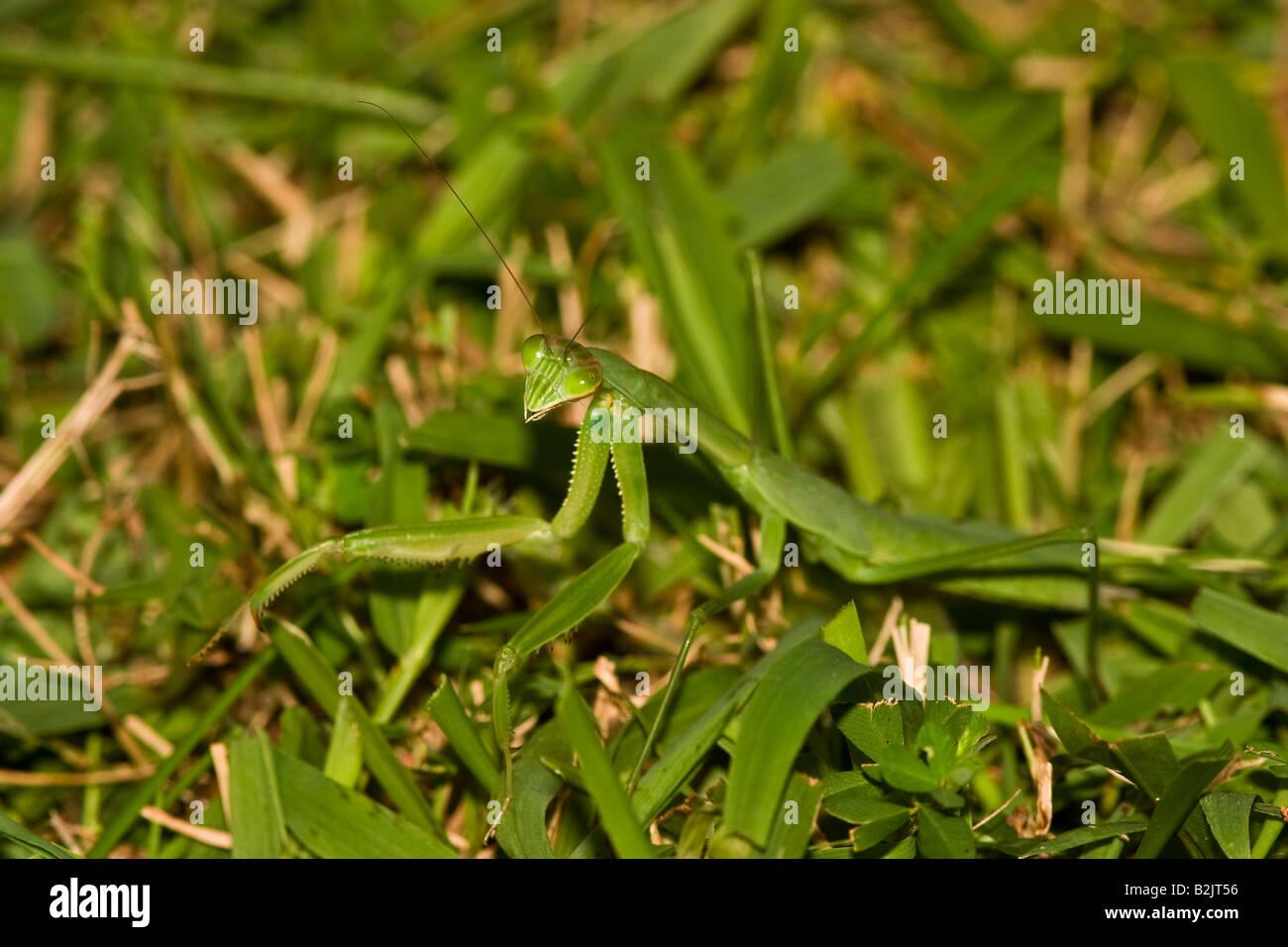 Chinese 'Preying' Mantis (Tenodera aridifolia sinensis) - Stock Image
