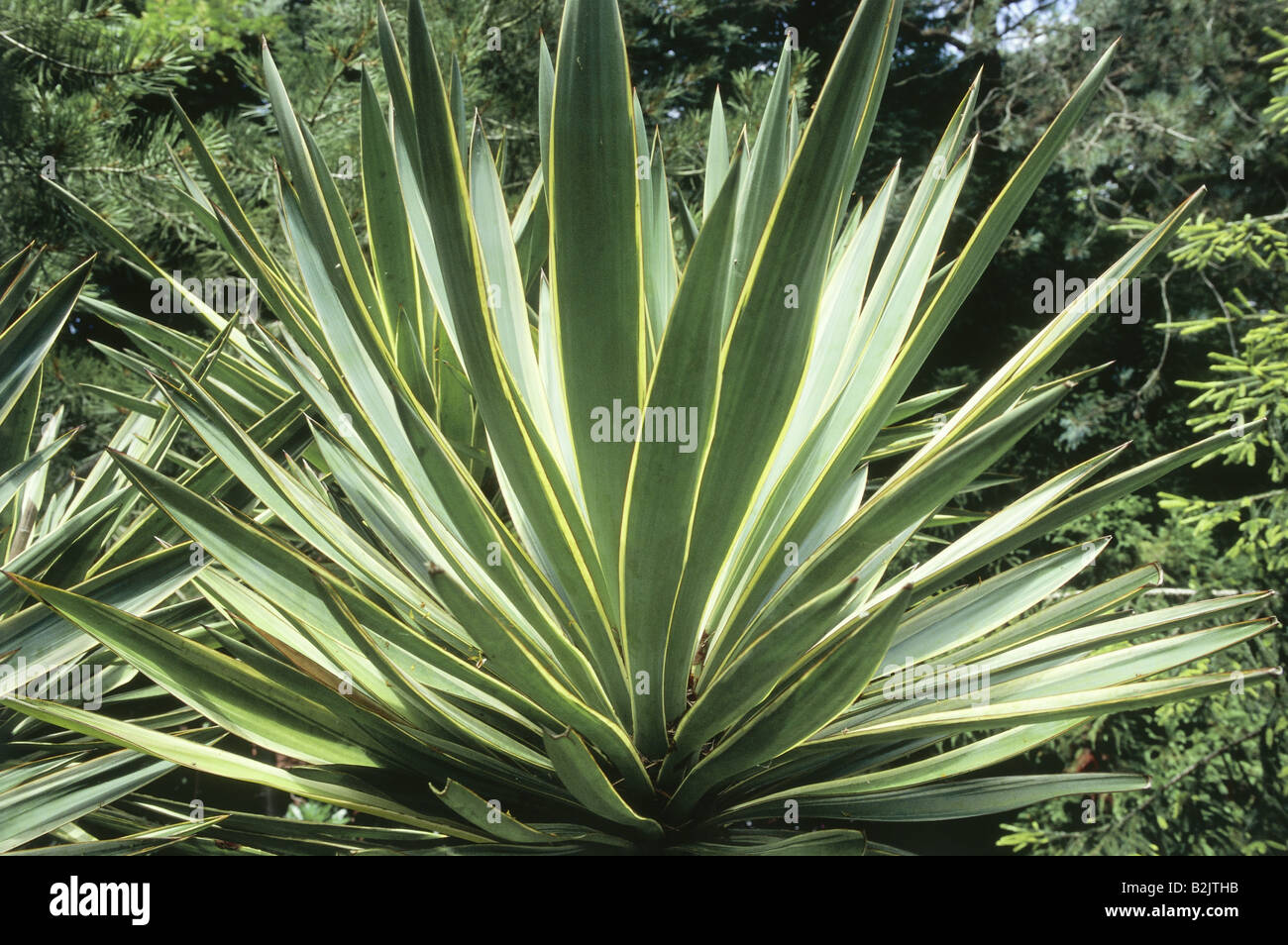 botany, Spanish dagger (Yucca gloriosa Variegata), perennial, Additional-Rights-Clearance-Info-Not-Available - Stock Image