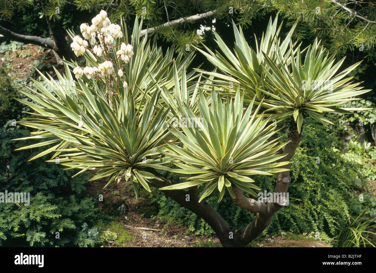 botany, Spanish dagger (Yucca gloriosa Variegata), perennial with blossom, Additional-Rights-Clearance-Info-Not - Stock Image