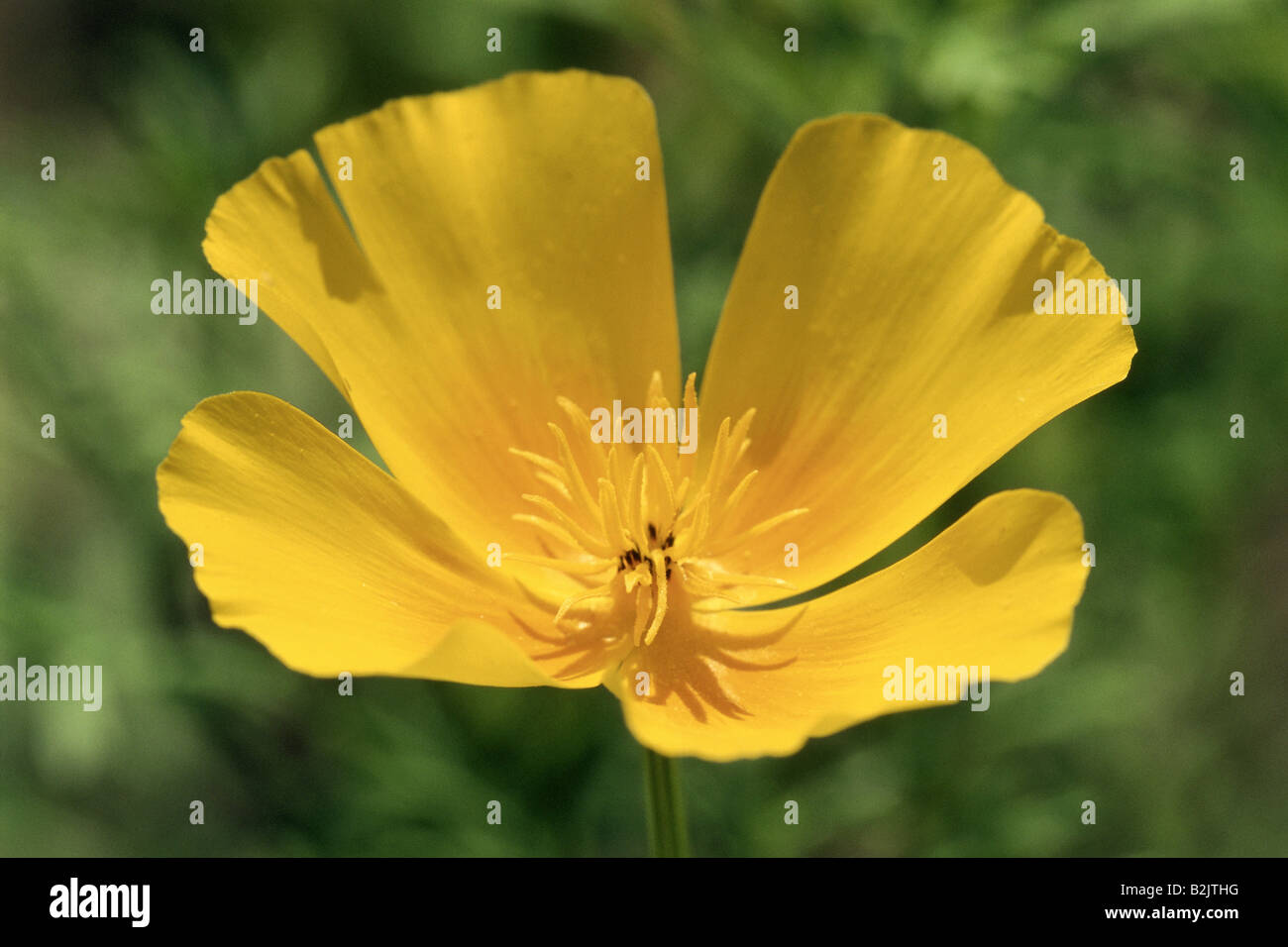 botany, California poppy (Eschscholzia californica), blossom, , Additional-Rights-Clearance-Info-Not-Available - Stock Image
