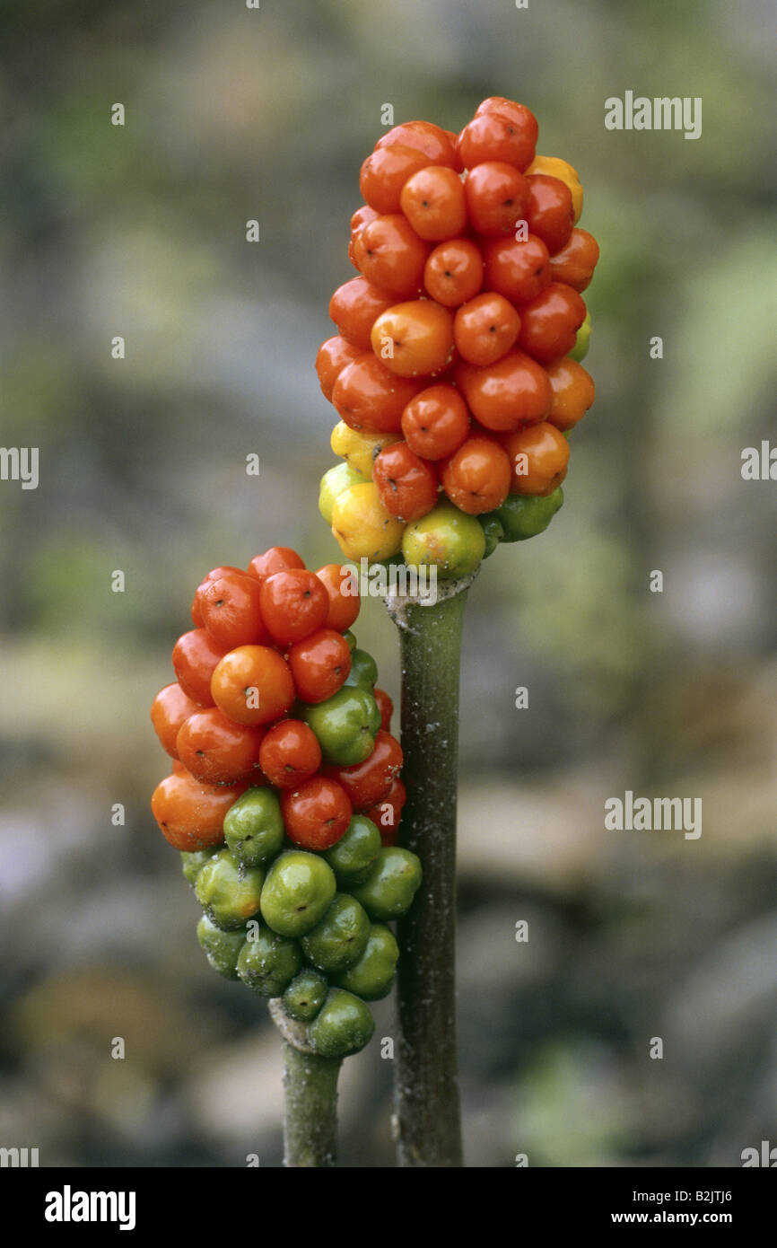 botany, Lord and Ladies, (Arum italicum), , Additional-Rights-Clearance-Info-Not-Available Stock Photo