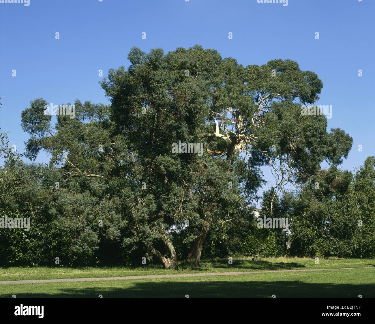 botaniy, Eucalyptus parvifolia, 'Small leaved Gum' at Kew Gardens, London, Great Britain, Additional-Rights - Stock Image