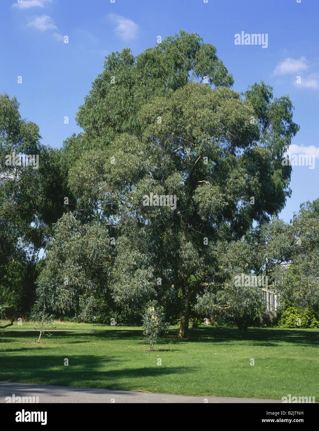 botaniy, Eucalyptus glancescens, 'Tingiringi Gum' at Kew Gardens, London, Great Britain, Additional-Rights - Stock Image