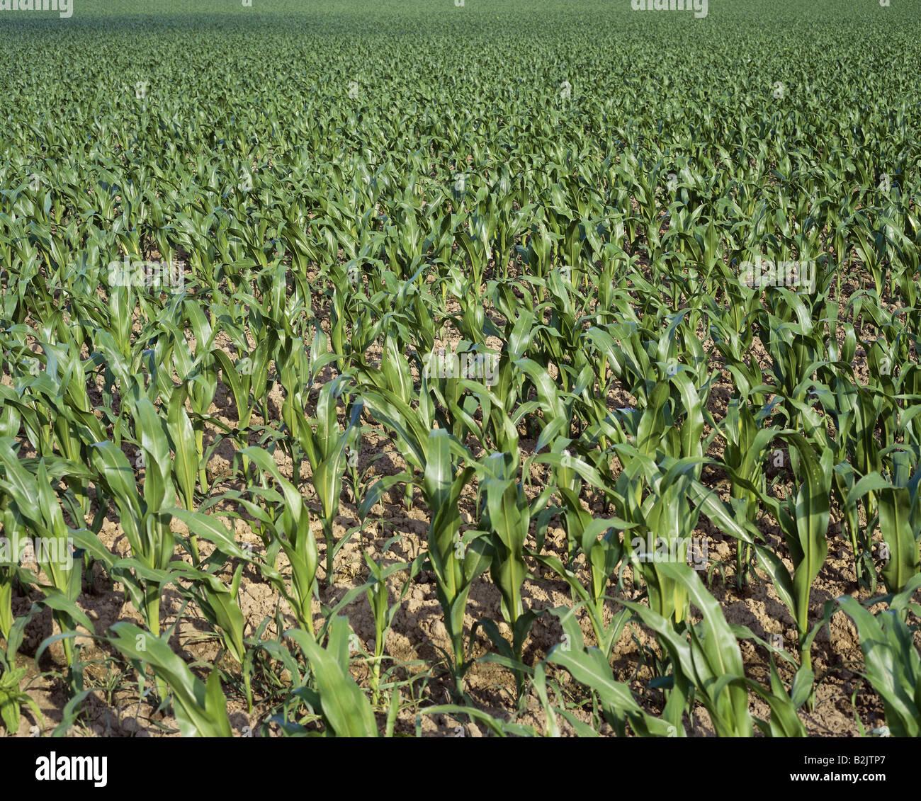 botany, Zea, 'Maize' (Zea mays), subspecies (Zea mays ssp. mays), field, seedlings, Kamen, Germany, Additional - Stock Image