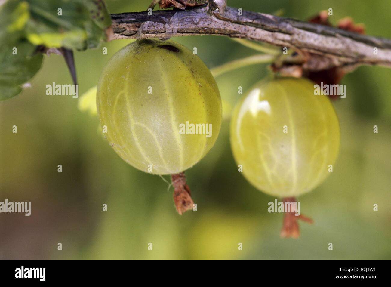 botany, Gooseberry, (Ribes uva-crispa), gooseberries at branch, Additional-Rights-Clearance-Info-Not-Available - Stock Image