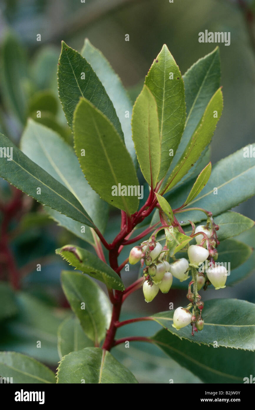 botany, Strawberry Tree (Arbutus unedo), bloom at branch, Additional-Rights-Clearance-Info-Not-Available Stock Photo