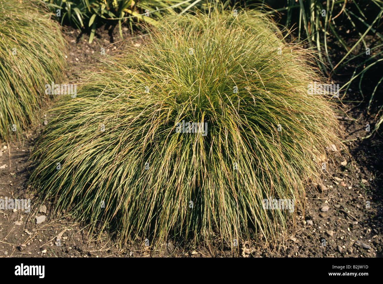 botany, Harefoot Sedge (Carex leorina), shrub, Additional-Rights-Clearance-Info-Not-Available - Stock Image