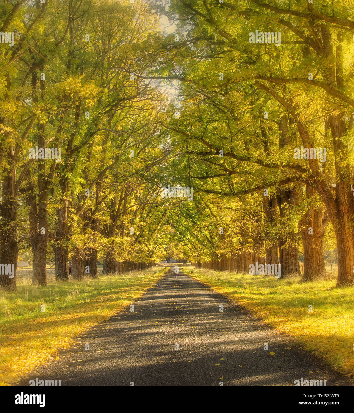 soft and dreamy yellow tree lined road in autumn or fall - Stock Image