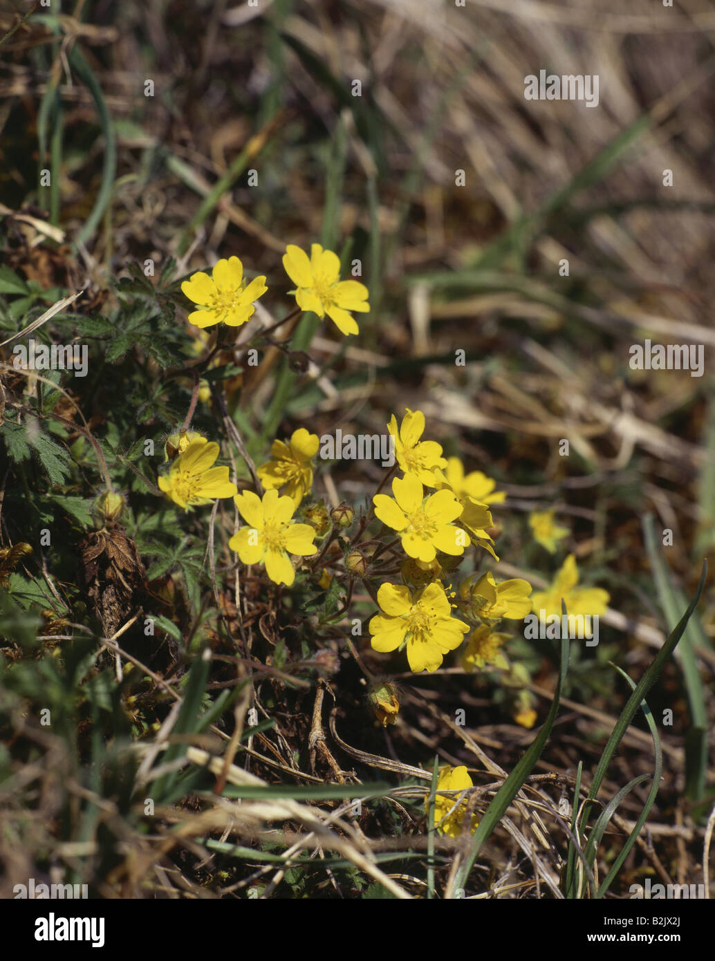botany, Potentilla, Potentilla heptaphylla, yellow bloom, Additional-Rights-Clearance-Info-Not-Available Stock Photo