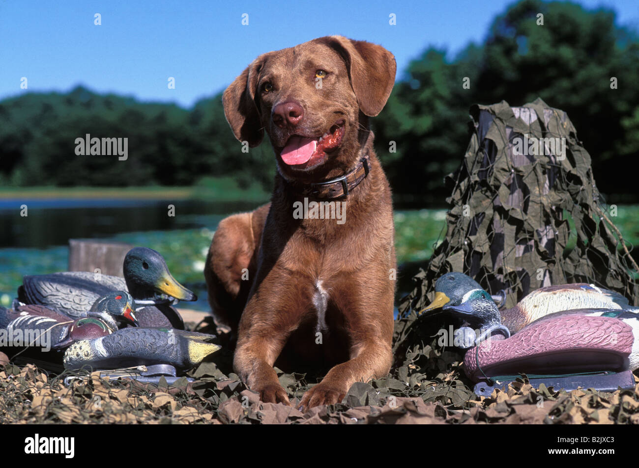 Chesapeake Bay Retriever on Dock Surrounded by Camouflage Netting and Duck Decoys - Stock Image