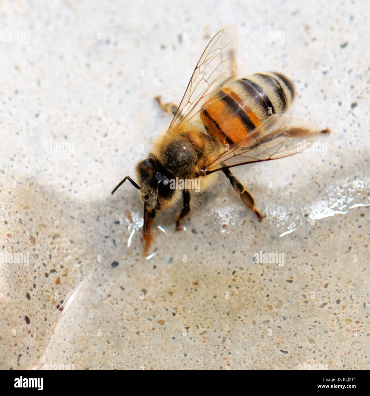 A single Honey Bee ( Apis mellifera) drinks water from a bird bath on a 100 degree summer day. Oklahoma, USA. - Stock Image
