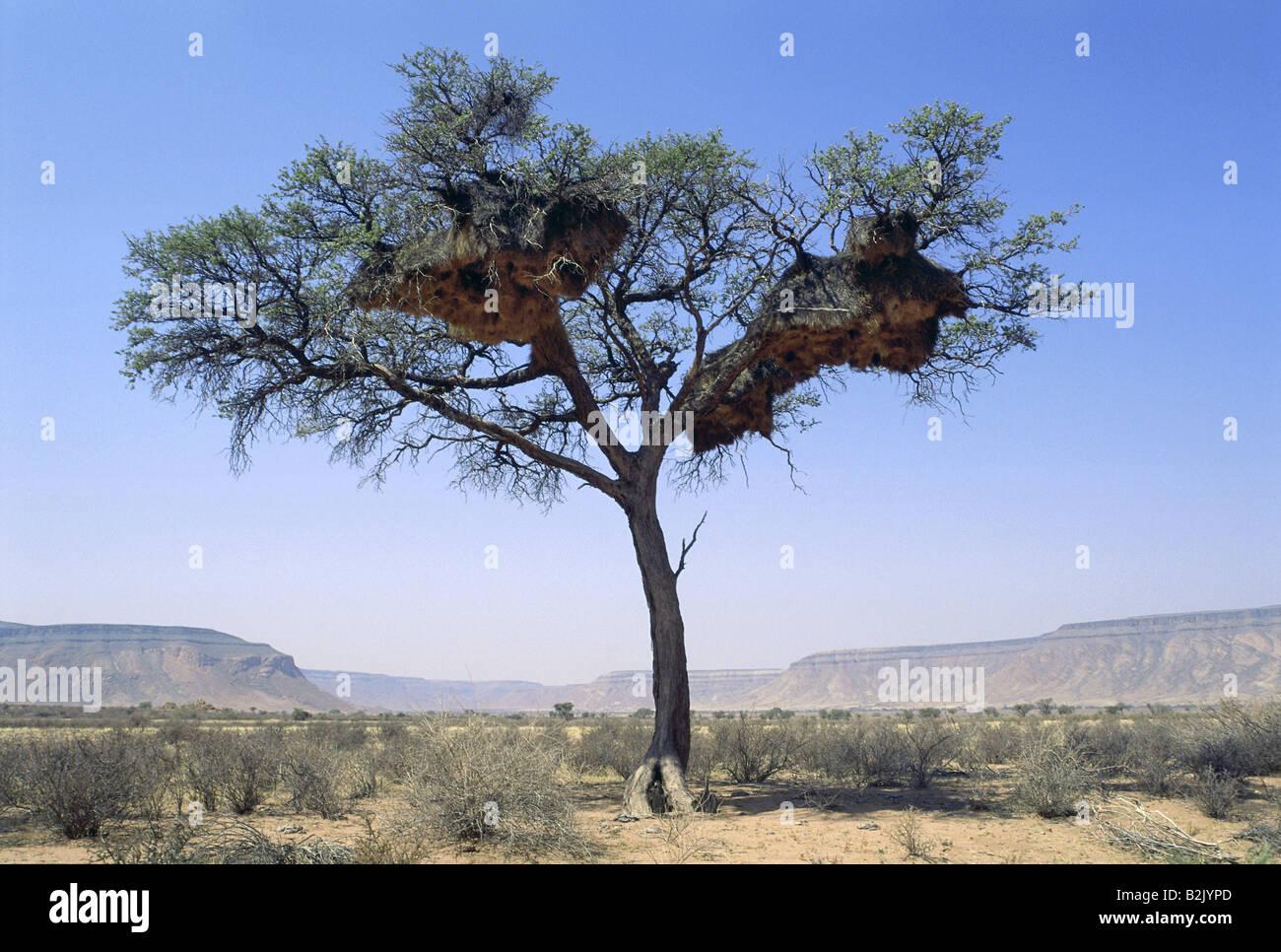 zoology / animals, avian / bird, Widowbirds, (Ploceidae), tree with nests, Namib-Naukluft Park, Namibia, distribution: - Stock Image