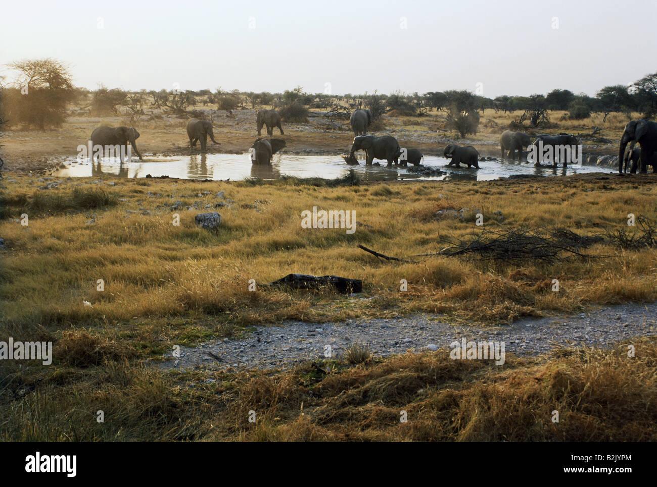zoology / animals, mammal / mammalian, Elephantidae, African Bush Elephant (Loxodonta africana), herd with cubs - Stock Image