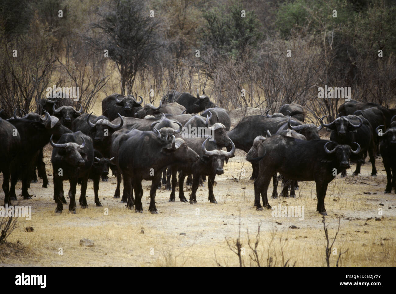 zoology / animals, mammal / mammalian, Bovidae, African Buffalo (Syncerus caffer), herd, Hwange National Park, Zimbabwe, Stock Photo